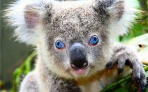koala, bear, cute, gray, blue eyes, unique, australia, arboreal, herbivorous, marsupial, stout, fluffy, ears, large, spoon-shaped nose, adorable, furry, animal