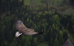 adler, bird, bird of prey, raptor, animal, freedom, fly, wing, wing-beat, sublime