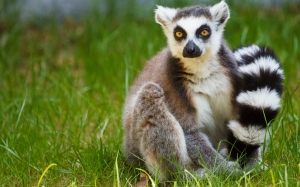 lemur, grass, madagascar, animal, wildlife, ring-tailed