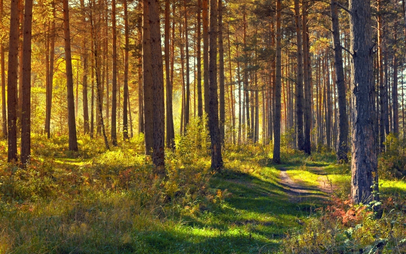 forest, nature, landscape, trees, yellow, gold, haze, autumn