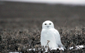 nature, north dakota, snowy owl, bubo scandiacus, animals