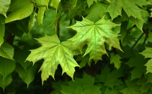 spring, branch, twig, maple leaves, foliage, leaves, may, green