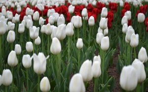 spring, flowerbed, may, tulips, flower, flowers
