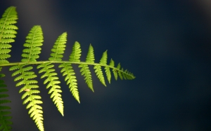 fern, frond, leaf, punga, plant, twig, branch, stem, pod, vegetation