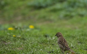 sparrow, grass, nature, bird, animal