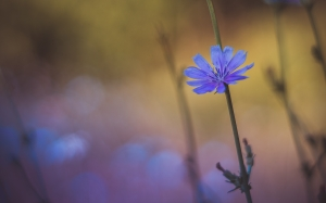 flowers, chicory, plant, nature