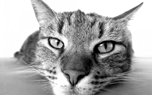 cat, black and white, nose, pet, relax, face
