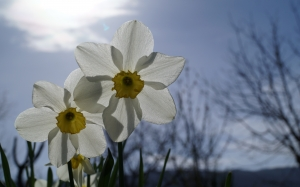 daffodil, flower, flowers, plants, nature
