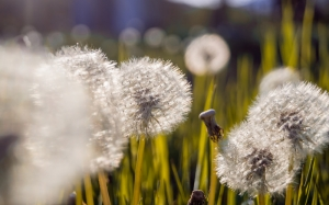 dandelion, macro, nature, grass, plants
