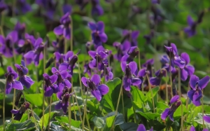 spring, macro, March, card, nature, plants, violet, flora, flowers