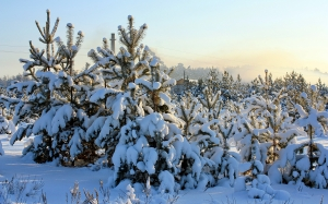 winter, cold, nature, snow, pine
