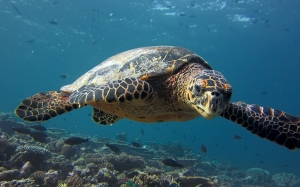 Maldives, sea, underwater, ocean, water, turtle