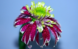 drops, macro, chrysanthemum, flower, plant