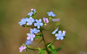 spring, forget-me-not, flowers, nature