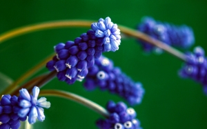 spring, little blue, flowers, nature