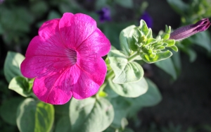 July, summer, petunia, morning, flowers, nature