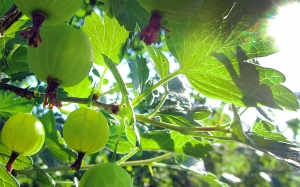 Gooseberry, summer, garden, harvest, berries, nature, sun