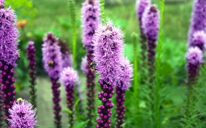 July, summer, Liatris, flowers, plants, nature