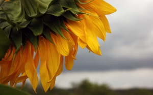 summer, overcast, sunflower, nature, clouds