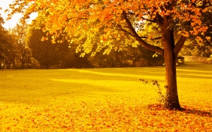 autumn, fall, foliage, golden, leaves, nature, orange, park, seasonal, sunlight, sunset, tree, vibrant, vivid, yellow