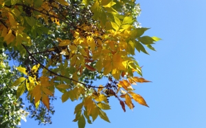 Autumn, fall, seasons, foliage, leaf, leaves, color, sky, blue