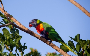 colorful lorikeet, parrot, bird, tree, blue sky, animals, nature
