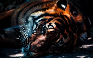tiger, wildlife, animal, cat, predator, feline, mammal, striped, bengal, wild, beast