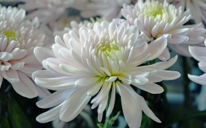 white, summer, flowers, chrysanthemum