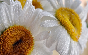 white, drops, summer, macro, daisies, flowers