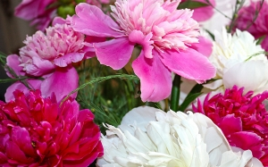 white, burgundy, bouquet, summer, peonies, pink, flowers