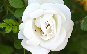 white, summer, flowers, rose, nature