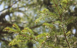 spring, branch, needles, forest, May, spruce