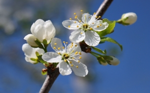 spring, cherry, beauty, sky, flowers, branch, nature