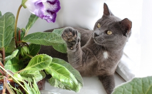 gloxinia, animal, cat, pets, flowers