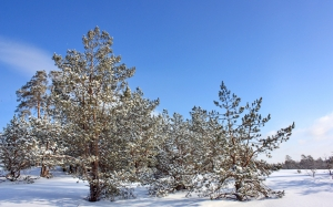 trees, sky, landscape, snow, pine, winter