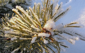 branch, winter, frost, nature, snow, sun, pine