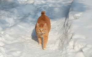 winter, cat, pets, snow, February, nature, animals
