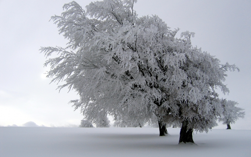 winter, tree, snow, frost