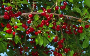 cherry, trees, June, summer, nature, garden, fruits, berries