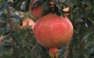 pomegranate, autumn, plants, garden, September, flora, fruit