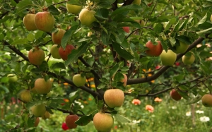 August, tree, trees, summer, nature, garden, flora, fruit, flowers, apples, apple