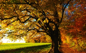 tree, sun, field, sunset, autumn, leaves, sunny, colorful, fall color, fall foliage, lime tree, road, forest, nature, meadow, forest path