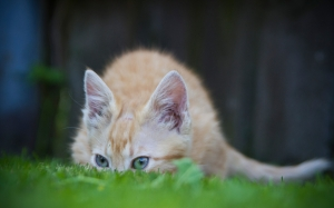 cat, grass, animal, kitten, pet