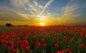 sunset, poppy field, sun, nature, horizon, landscape