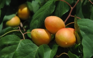 apricots, trees, summer, nature, plants, garden, flora, fruit