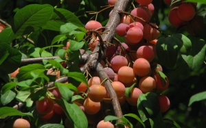 plum trees, food, cooking, summer, nature, plants, Tashkent, Uzbekistan, flora, fruit, berries