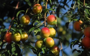 plum trees, food, summer, nature, plants, Tashkent, Uzbekistan, fruits, berries
