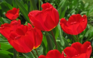 April, spring, beauty, nature, plants, garden, Tashkent, tulips, Uzbekistan, flora, flowers