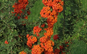 bushes, pyracantha, fruit, nature, plants, flora, berry