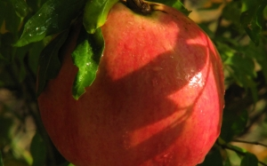pomegranate, nature gifts, giving, food, bushes, close-up, autumn, fruits, plants, flora